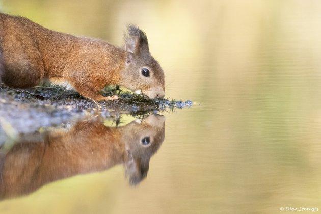 De Nederlandse eekhoorn