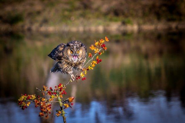 Ransuil in de herfst