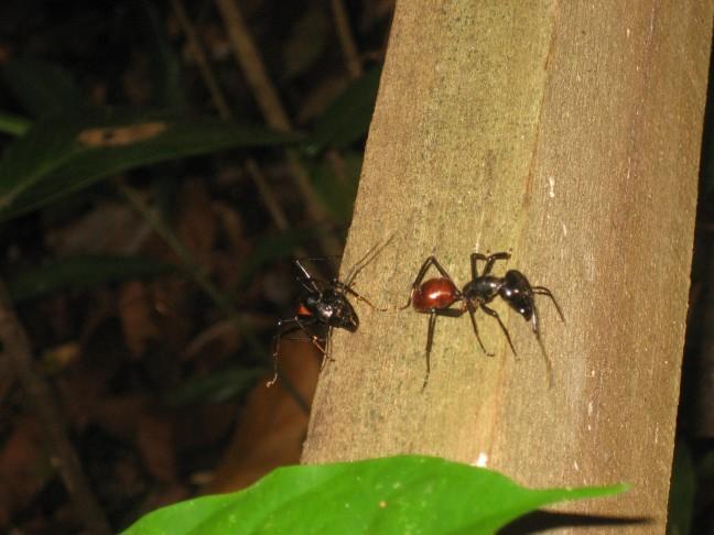 Mieren in de bossen van Borneo