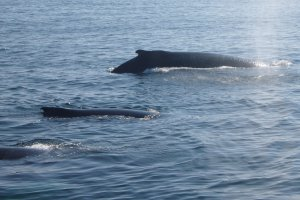 Familie Whale