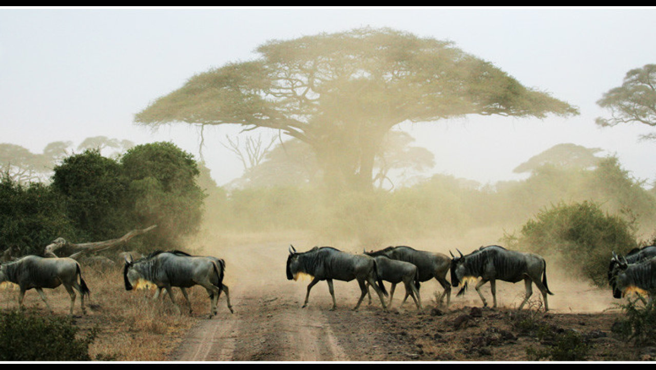 wildebeast crossing