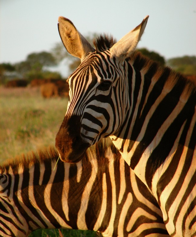 Hapje eten met de zebra's
