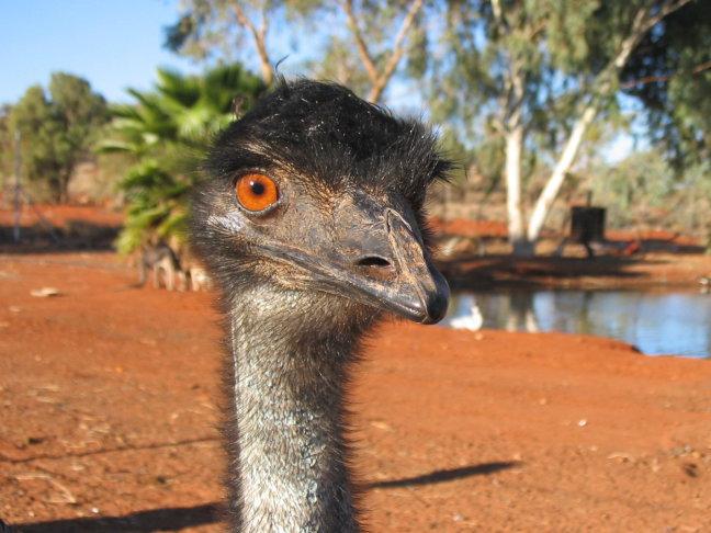 Red-eye-emu