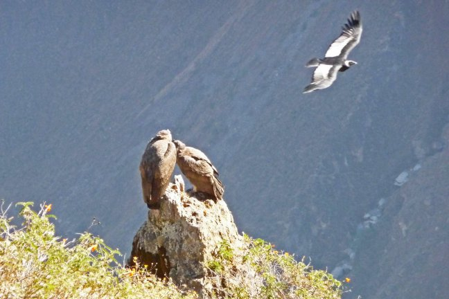 Tweeling Condor