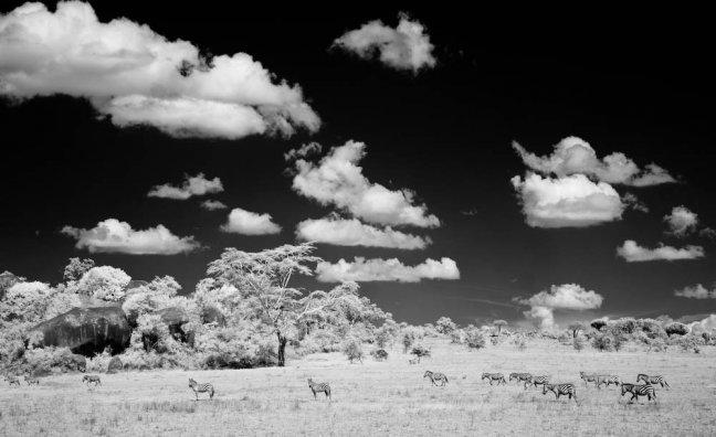 Zebra migratie