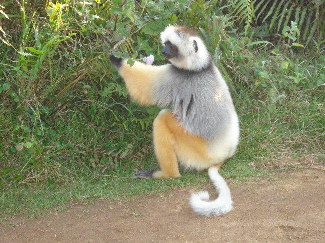lemur - foto 2