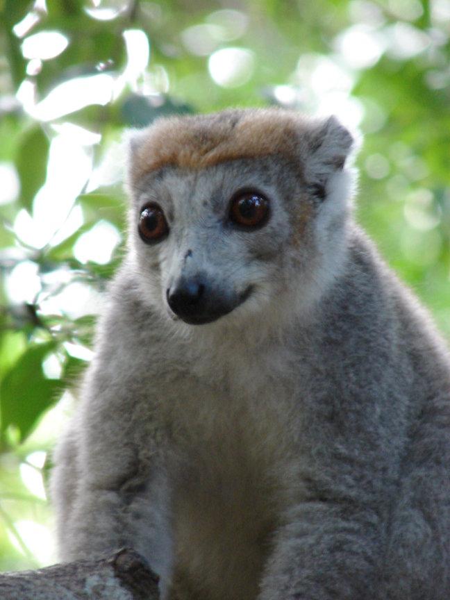 lemur - foto 3