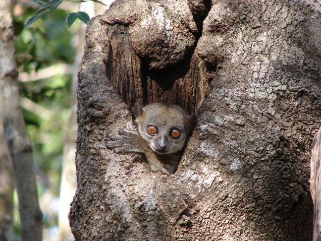 lemur - foto 4