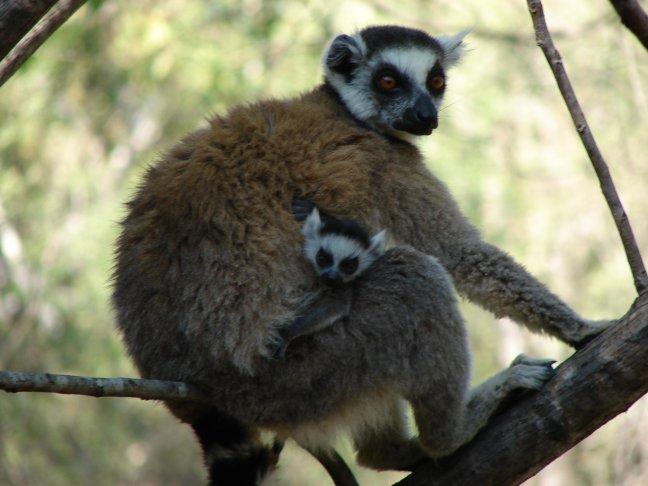 lemur - foto 5