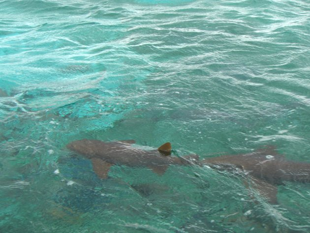 Zwemmen met de (verpleegster) haaien
