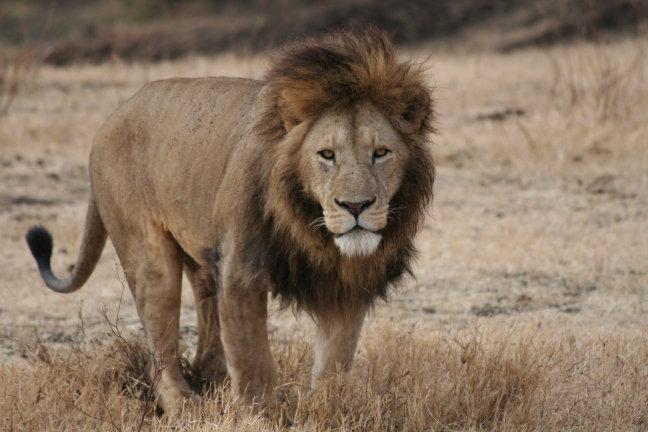 contact met een leeuw