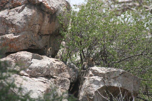 leopard son's