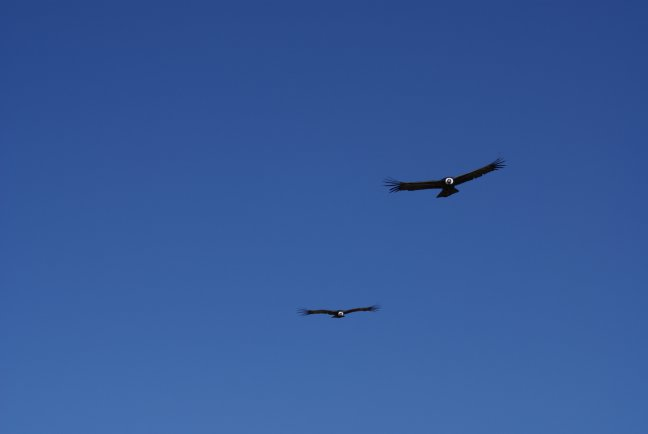 Twee Condors in Colca Cañon
