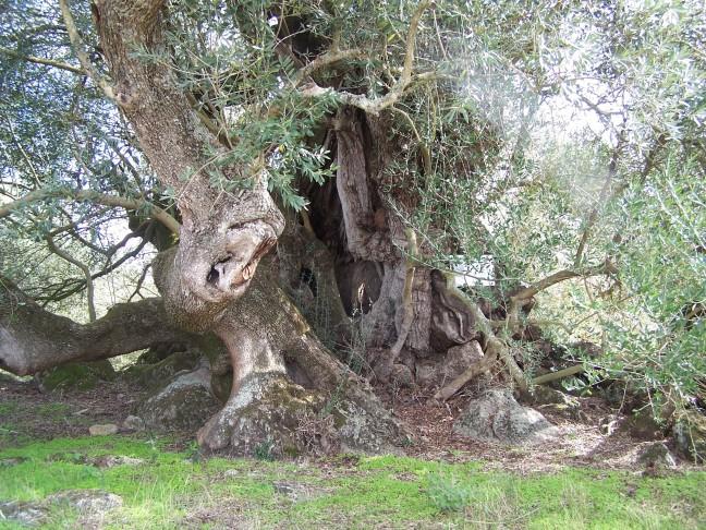 Zeer oude boom