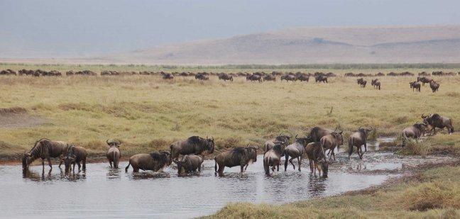 kudde gnoes in Ngorongoro
