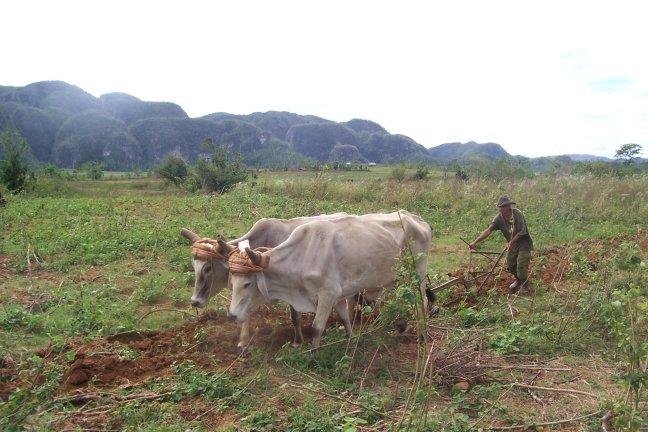 Farmer and ox
