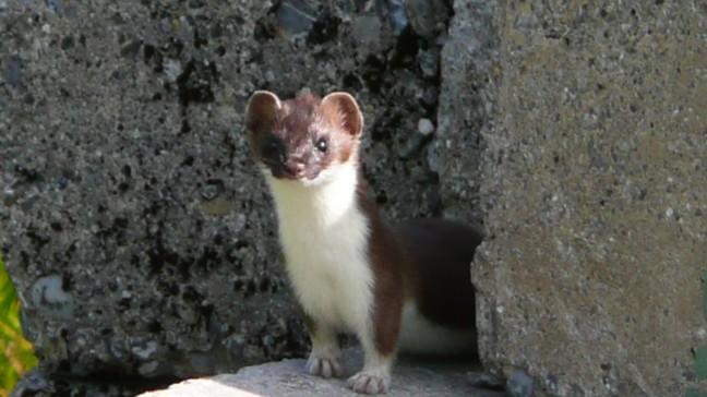 wezel of hermelijn??