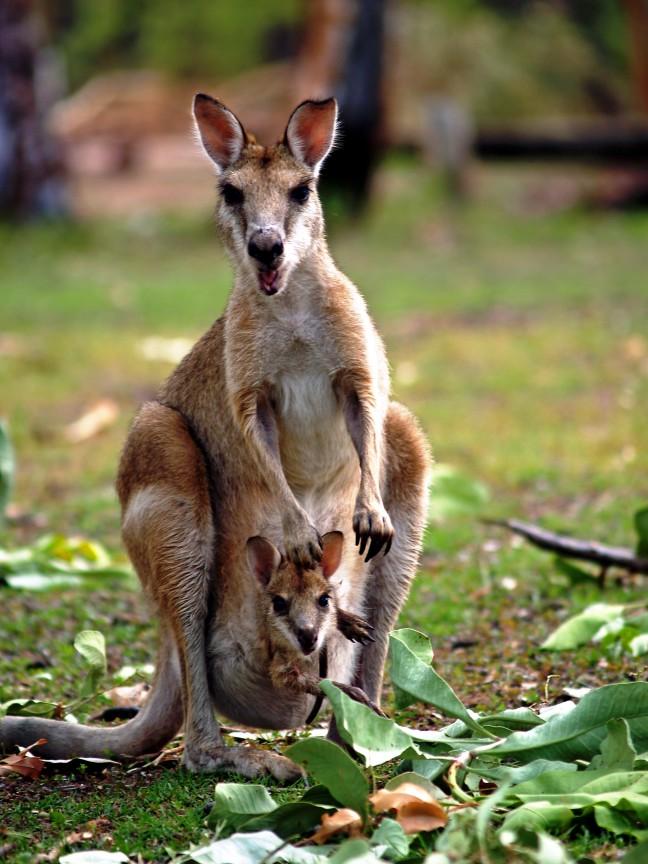 Kangoeroe met Joey