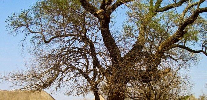 Dr. Livingstone Tree