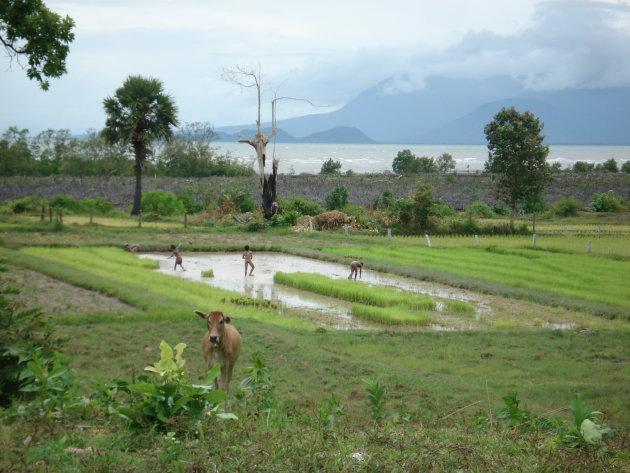 Rijstvelden nabij Kep