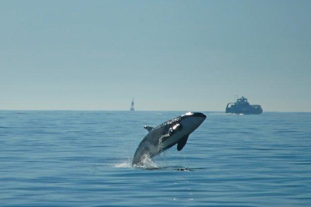 jumping Orca