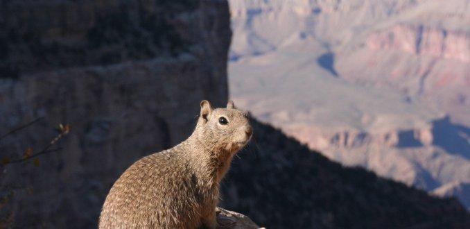 Eekhoorn & Grand Canyon