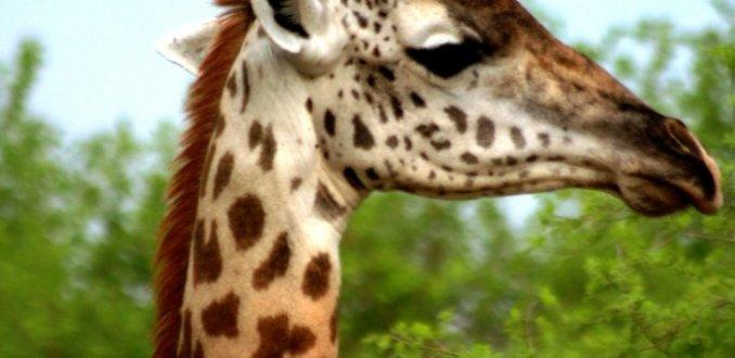 Giraffe En Profil