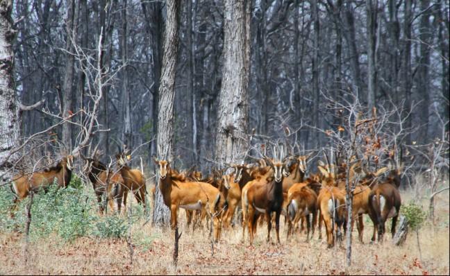 Roan antilope