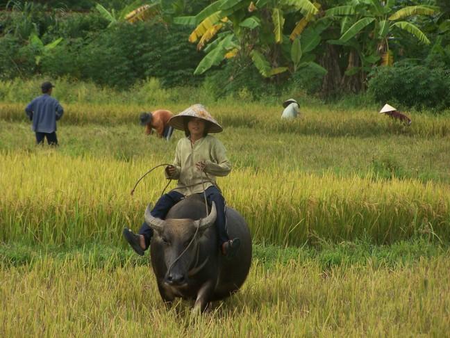 Buffelen op de rug van een waterbuffel