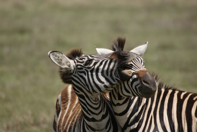 2 zebra`s