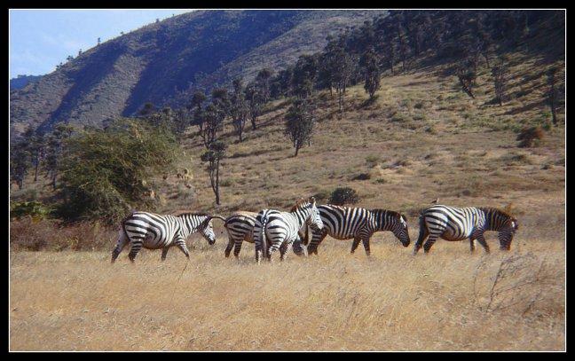 Zebra's in de Ngorongorokrater