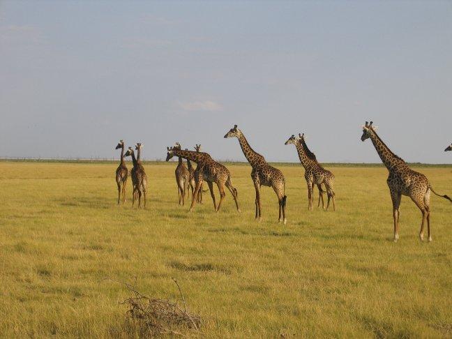 Giraffes laat in de middag