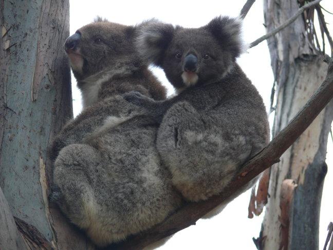 Koala's op Kangaroo Island
