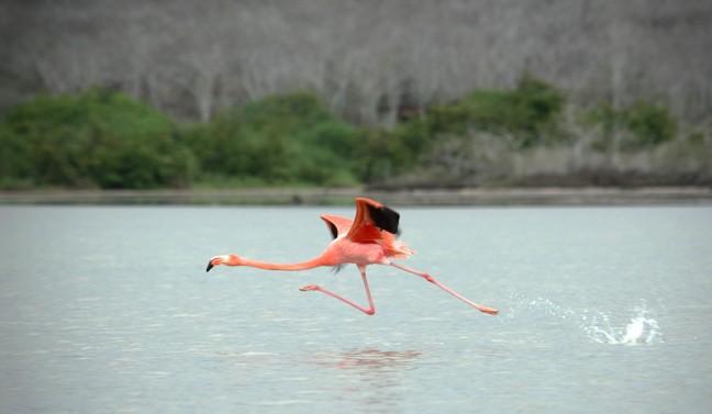 Flamingo; ready for take of...
