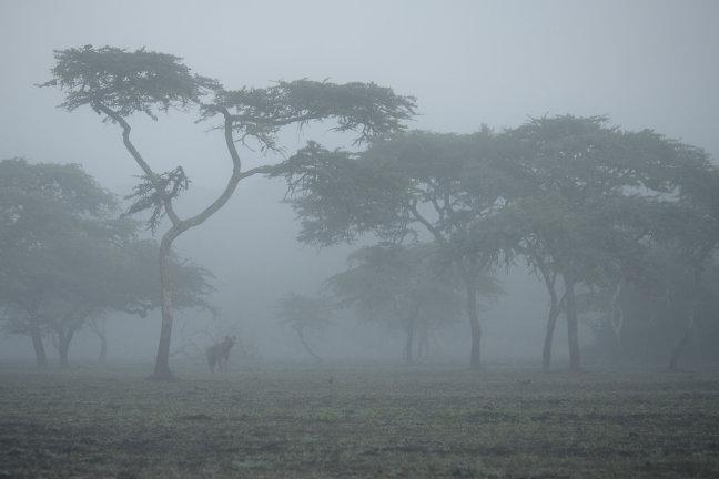 Hyena in the mist