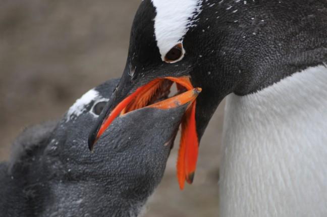 Moeder Gentoo pinguin voedt kleine