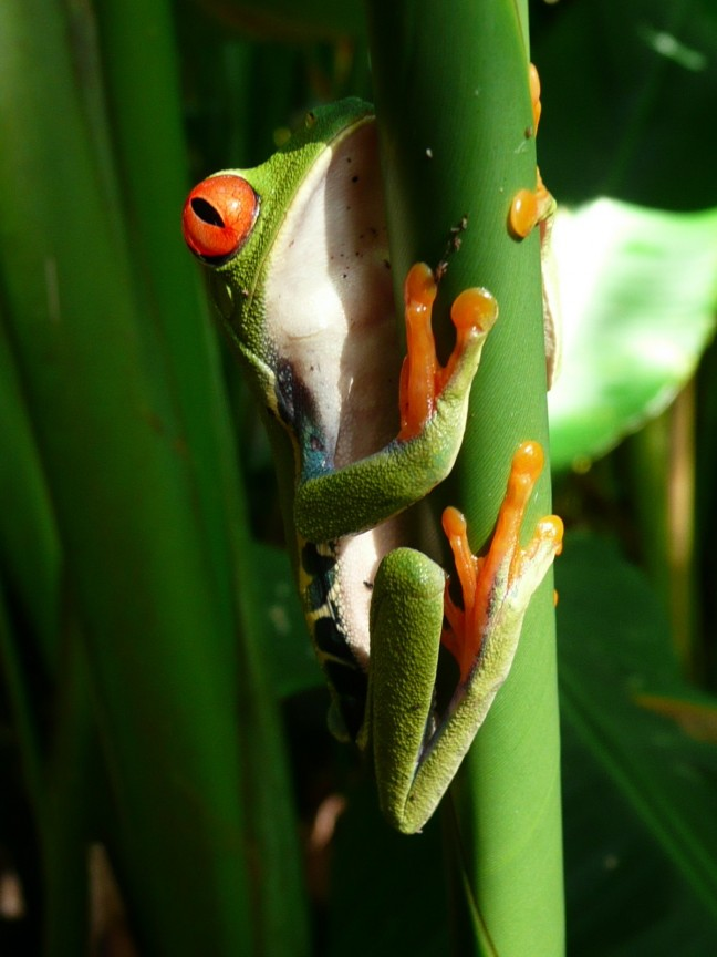 groene kikker costa rica