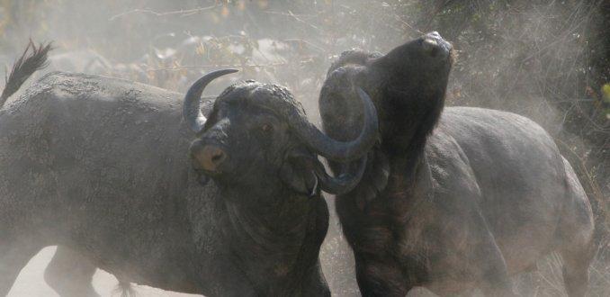 buffelgevecht 1