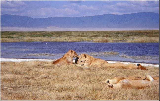 Lieve leeuwen?