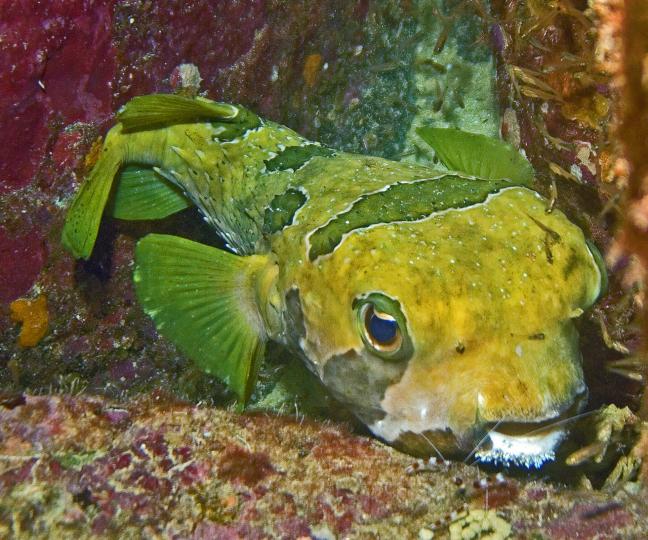 Porkeypinefish