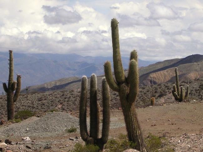 Cactussen in de Andes