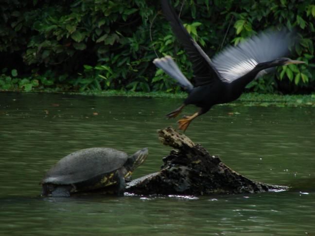 Schildpad en slangenhalsvogel