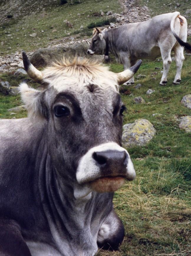 Koeienverhaal!