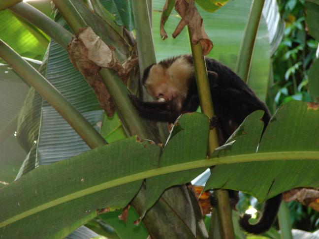 Kapucijneraap in een bananenboom