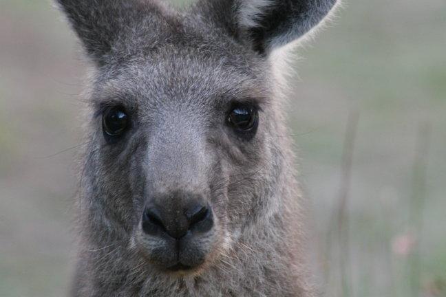 Nieuwsgierige kangeroe