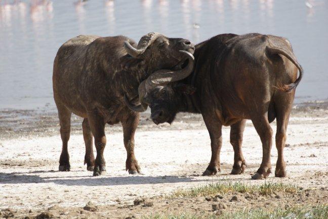 buffelknuffel