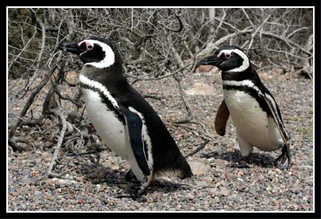 Magellaan Pinguins