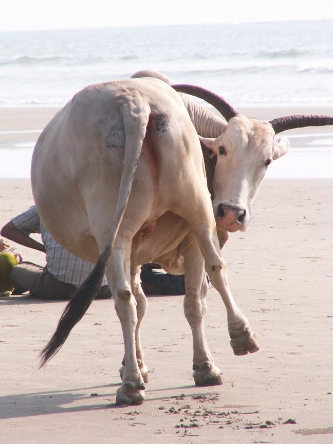 De heilige koe met jeuk