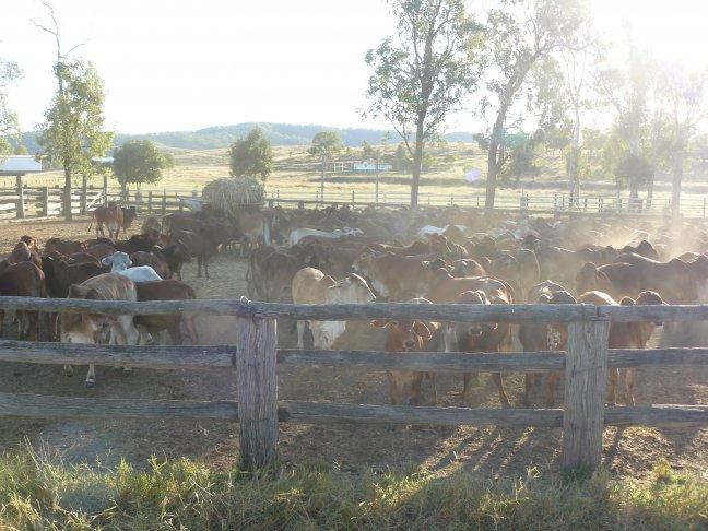 Australian Cattle Farm