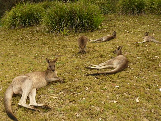 Kangaroo's op Pebbly Beach